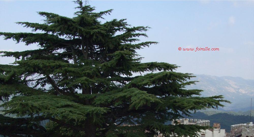Blog arbres les cdres du liban impressions - Cedre bleu du liban ...