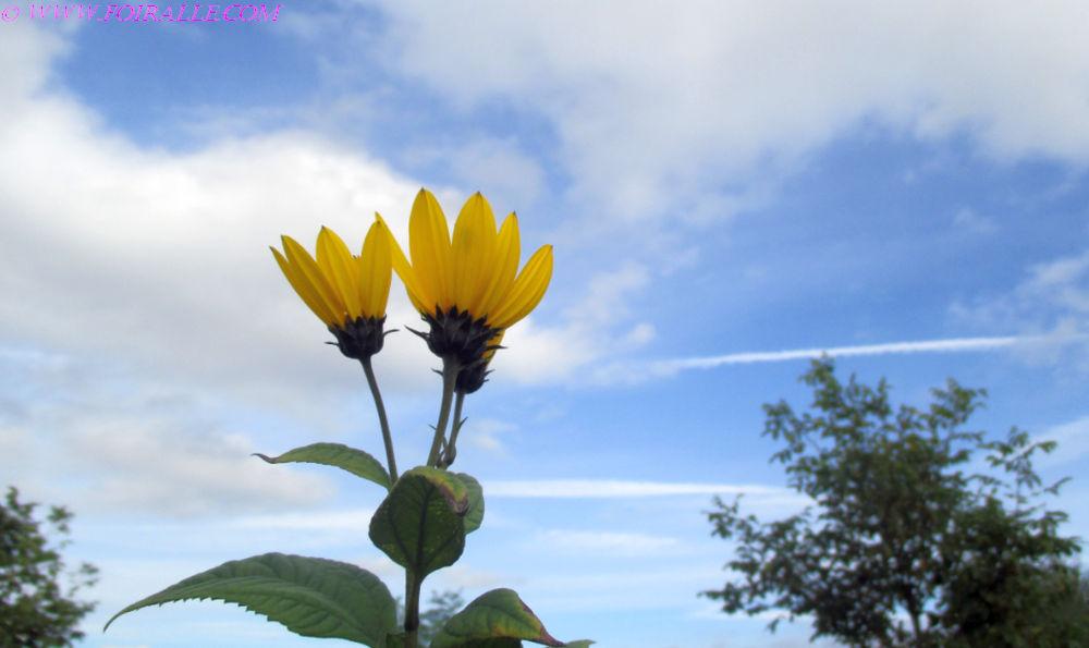 Promenade en automne les fleurs jaunes entre espèces de marghérites ...