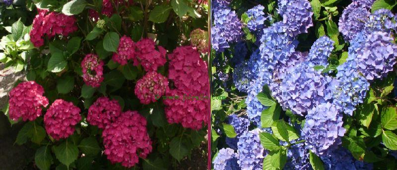 Blog hortensia plante et fleuron culture des jardins et for Culture des jardins