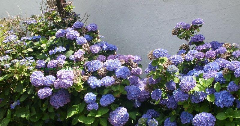 Blog hortensia plante et fleuron culture des jardins et dcorations de la maison - Faut il tailler les hortensias ...