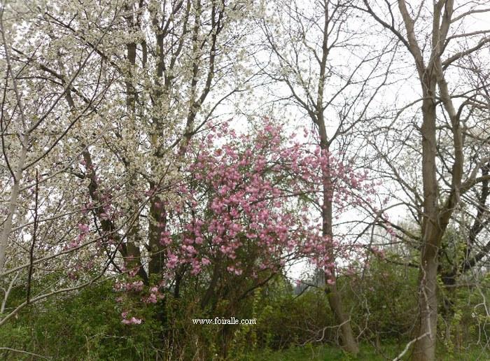 Blog printemps fleurs arbres impressions - Arbre fleurs rouges printemps ...