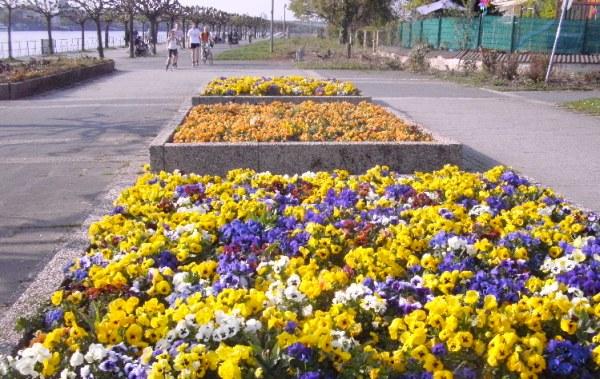 blog fleurs pensees jolies elegantes printemps regards promenade sur le rhin vendredi saint 10. Black Bedroom Furniture Sets. Home Design Ideas